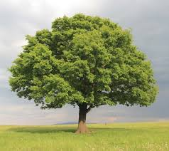 oak britannica homework help