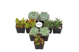 Amazon Succulents Amazon Com Shop Succulents Assorted Succulent Collection Of 140