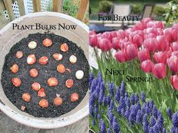 how to plant spring blooming bulbs in a pot