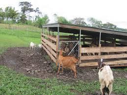 goats thepioneersofpanama
