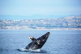 whale watching california 20 whale watching special