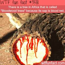 tree in africa that bleeds bloodwood trees
