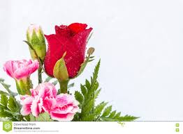 red rose and pink carnation flowers on white background stock