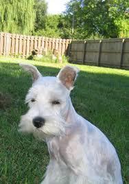 schnauzers hair cuts the cuteness puppy blog of a little white miniature schnauzer