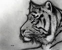 drawing of tiger face drawing of sketch