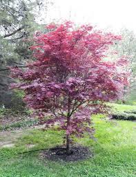 bloodgood japanese maple fort wayne trees