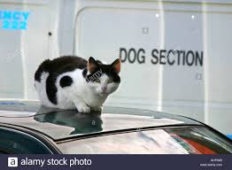 cat sitting on car roof with police dog van in the background