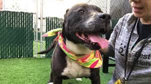 american pitbull terrier qualities brenda u2013 a1110722