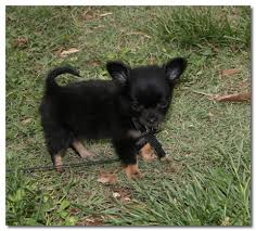 long hair chihuahua hair growth what to expect how to raise a chihuahua puppy