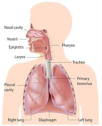 Anatomy And Physiology Of Copd Fast Facts Study Guide Respiratory Distress Limmer Creative