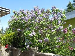 beneficial effects of pruning ornamental trees shrubs like lilac