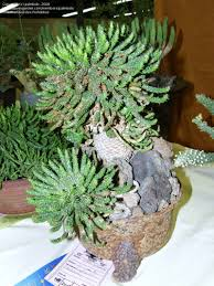 plantfiles pictures euphorbia species medusa u0027s head euphorbia