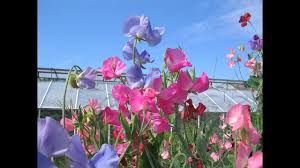sweet peas flowers amazing and most beautiful sweet pea flowers pictures