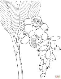 shell ginger flower coloring page free printable coloring pages
