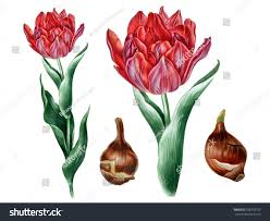 Invitation Card Printing Services Big Red Tulip Botanical Illustration Great Stock Illustration