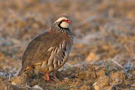 list of birds of great britain wikipedia