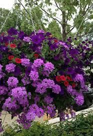purple flower hanging basket container gardening pinterest