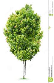 Small Indoor Trees by Tree Lilacs Syringa Reticulata And S Pekinensis Pacific Best 25