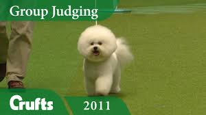 bichon frise jumping bichon frise wins toy group judging at crufts 2011 crufts