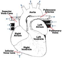 External Heart Anatomy Cardiovascular System The Heart And Vessels Of Mammals Birds