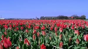 tulip flower farm wallpaper netherlands tourism pinterest