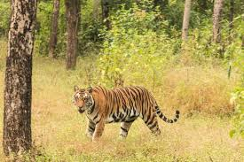 bengal tiger coming out of the jungle kanha np 11 14 picture of