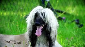 afghan hound vs wolfhound race the wind 14 greyhound coursing kodersdorf germany u2022 dog