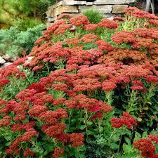crimson perennials garden plants u0026 flowers the home depot