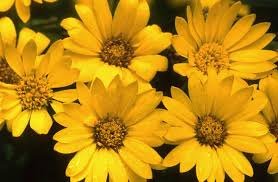 plants native to maryland maryland golden aster roundstone native seed company