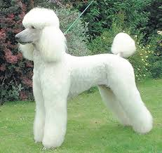 standard poodle hair styles image from http www moderndaypets com wp content uploads 2013 05