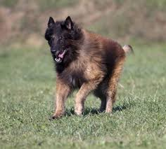 belgian shepherd eye problems 15 of the smartest dogs in the world a place for animals