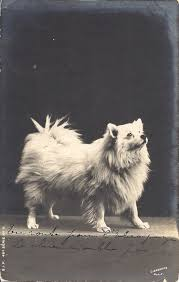 american eskimo dog omaha the white pomeranian or spitz a century of persecution poms