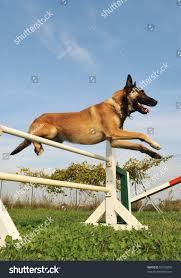 belgian tervuren 101 belgian sheepdog nationals the pack lamb creek groenendaels