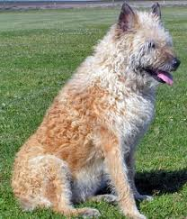 belgian shepherd breeds 65 best laekenois images on pinterest belgian shepherd belgian