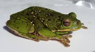frog facts and info poisonous frogs and treefrog species learn