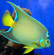 pesci alimentazione pesci angelo compagni di vasca alimentazione e cura acquario