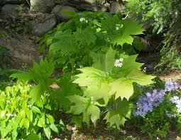 diphylleia cymosa umbrella leaf forum topic north american