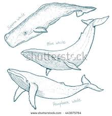 coloring page attractive draw humpback whale how to a step by