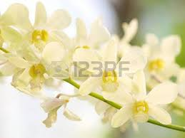 White Dendrobium Orchids Yellow Dendrobium Orchid Flower Stock Photo Picture And Royalty