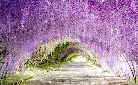 japan flower tunnel wisteria flowers tunnel in japan found the world
