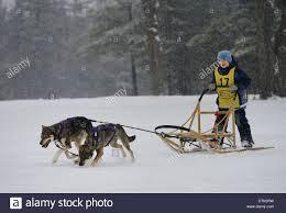 dog sled race canada stock photos u0026 dog sled race canada stock