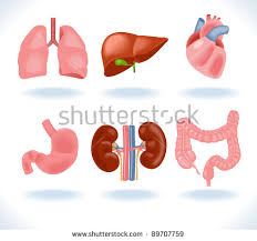 Human Anatomy Liver And Kidneys Human Organs Set Kidneys Liver Heart Stock Vector 511628221