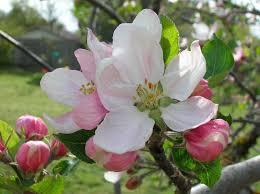 apple tree bloom wallpapers 09 21 15 1280x960px apple blossom desktop wallpapers flowers