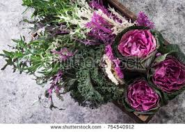 ornamental kale stock images royalty free images vectors