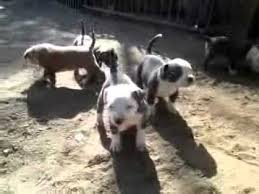 australian shepherd breeders southern california blue pitbull puppies for sale in southern california xl pitbull