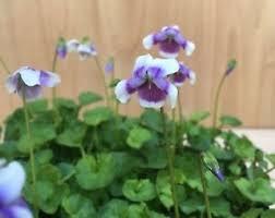 Rock Garden Cground Australian Violet Bonsai Accent Plant Rock Garden Ground