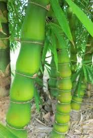 schizostachyum brachycladum sacred bali bamboo an outstanding