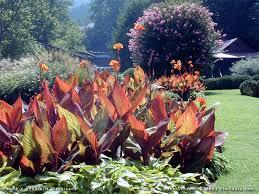 Canna Lilies Canna X Generalis