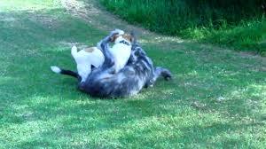 australian shepherd jack russell terrier irish wolf hound vs jack russell terrier dogs play fighting