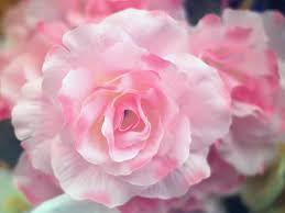 eternal rose gardening